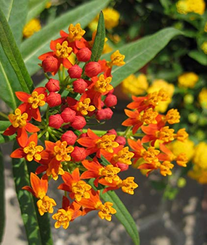 Butterfly Milkweed Seeds 100+ for Planting (Asclepias tuberosa)
