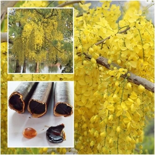 50 graines de Cassia Obstétricale, douche d'or, indien Gardens4you Laburnum Anagyroides Cytise, Pudding-pine Arbre