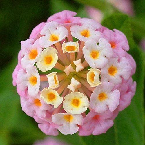 New Arrival. 100PCS/LOT Wandelröschen Blumen Samen, seltene Mehrjährige Kräuter Gorgeous Bonsai Baum Pflanze für Home Garten Getopfte Samen Show In Picture 7