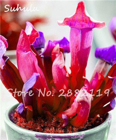 60 Pcs vivaces Nepenthes Seeds Carnivores Venus Fly Trap plus chaud du monde des plantes Graines Bonsai Garden Seed Color Mix Livraison gratuite 5