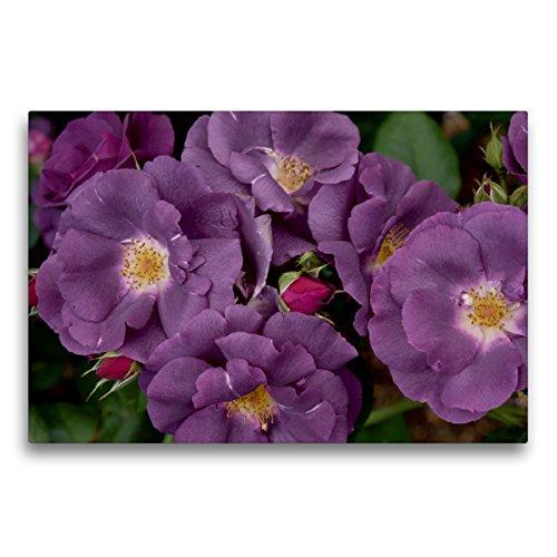 Premium Textil-Leinwand 75 x 50 cm Quer-Format Rose Rhapsody in Blue | Wandbild, HD-Bild auf Keilrahmen, Fertigbild auf hochwertigem Vlies, Leinwanddruck von Winfried Rusch - www.w-rusch.de