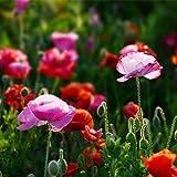Fnho Semillas de Flores Multicolores,Maceta para Plantas de jardín/Interiores,Flor de Belleza tímida, fácil de Vivir de Largo flujo-100 cápsulas_Rosa