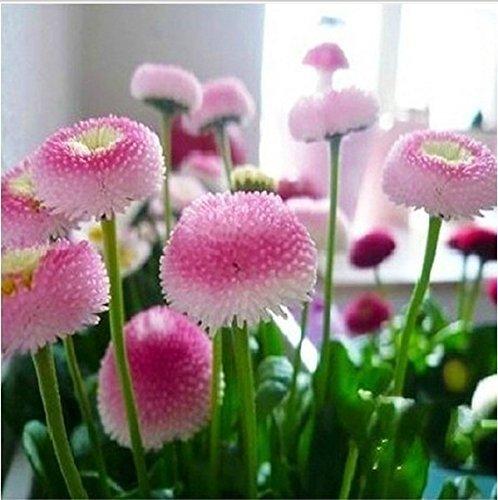 100pcs Erdbeer-Eis-Gänseblümchen-Samen Bonsai-Pflanzen Samen für