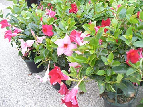 3 Pflanzen Dipladenia - Kletterpflanze, Mandevilla, Topf 14 cm