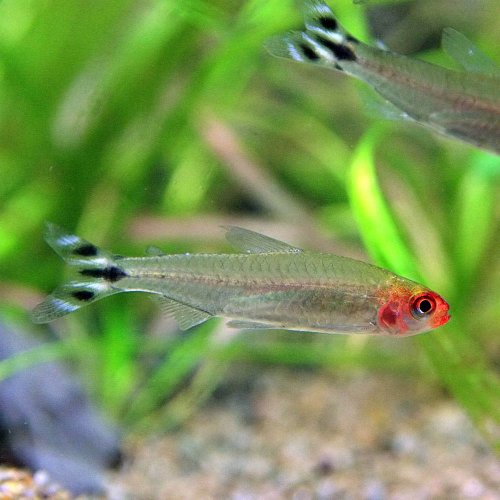 (熱帯魚)ラミーノーズテトラ(約2cm)<6匹>[生体]