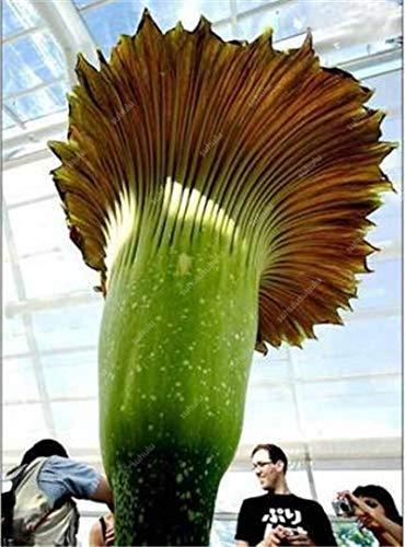 HONIC 100 Stück/Bag Corpse Blütenpflanzen Wird der Titanwurz auch als bekannt: 13