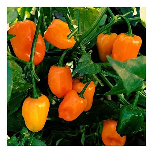 Samen-Paket: RWS Arugula - Salatrauke - einjährig -coltivata - 200 Samen