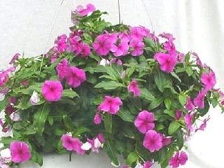 25 Seeds Hanging Basket Vinca Cascade Beauty Purple #MRB01