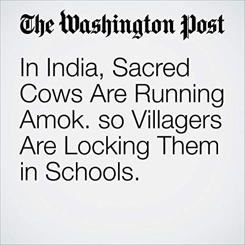 『In India, Sacred Cows Are Running Amok. so Villagers Are Locking Them in Schools.』のカバーアート