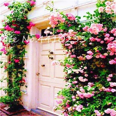 Generic Fresh 50 Stück Climbing Rose Blume SAMEN zum Pflanzen hellrosa