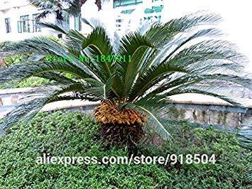 ASTONISH SEEDS: Verde: Venta grande 50pcs nuevas semillas frescas cycas semillas de árboles rara de China de cuatro estaciones Envío gratuito verde del árbol