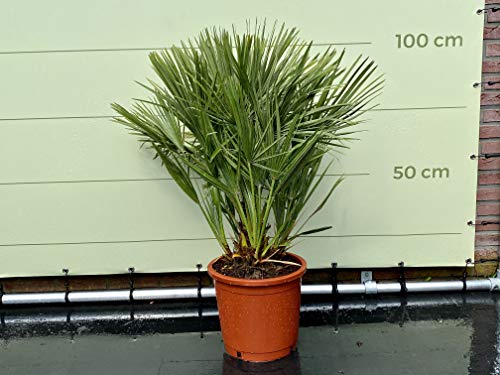 Palmera enana – 100/120 cm – dura invierno – chamaerops humilis