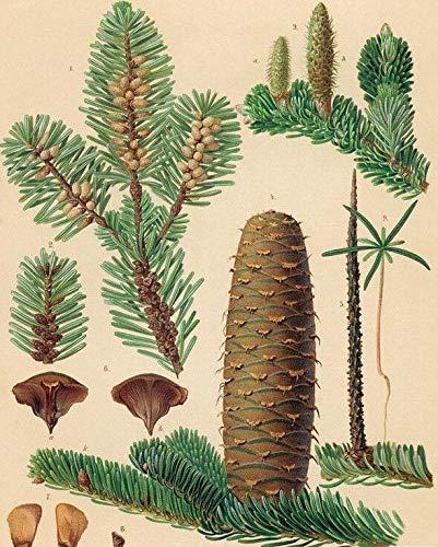 PLAT FIRM GERMINATIONSAMEN: Weißtanne. 100 Samen. Bäume, Samen