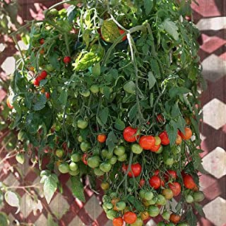 Tomato Tumbling Tom Red F1 - Vegetable Seeds Package - 100 Seeds