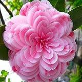 Bloom Green Co. ! Grande vendita Rare viola camelia bonsai dei 50 pc in vaso Flower Garden flores in vaso piante ornamentali plantas giapponesi Camellia, BBU2: 8