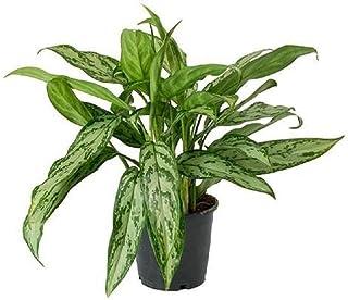 Aglaonema Live Plant