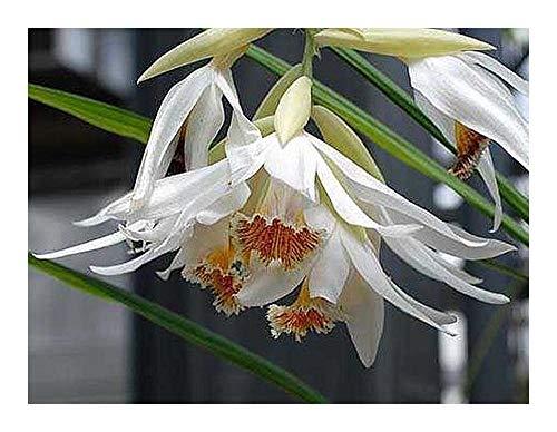 Thunia alba - orchidées - 100 graines