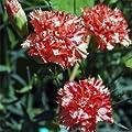 Outsidepride Carnation - Chabaud Avranchin