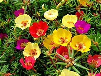 VISA STORE 1000 Samen Sun Portulak Rose Pig 1000 Zeit Bulk-Samen B1115