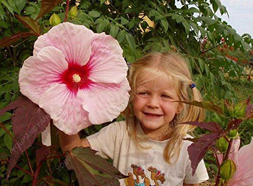 100 pcs/sac graines de fleurs d'hibiscus, balcon graines d'hibiscus bonsaï géant graines de fleurs en pot plante nain grandir jardin facile pour la maison jaune