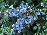 Großblättrige Berberitze Berberis julianae 50 Samen