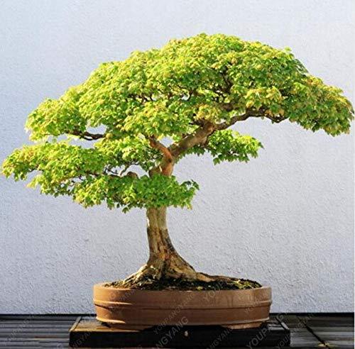 Casavidas Maple PC 20pcs Zier Bonsai-Baum-Pflanzen-Topf-Klage für DIY Hausgarten Japanischer Ahorn Stück Balkonpflanzen: Grün