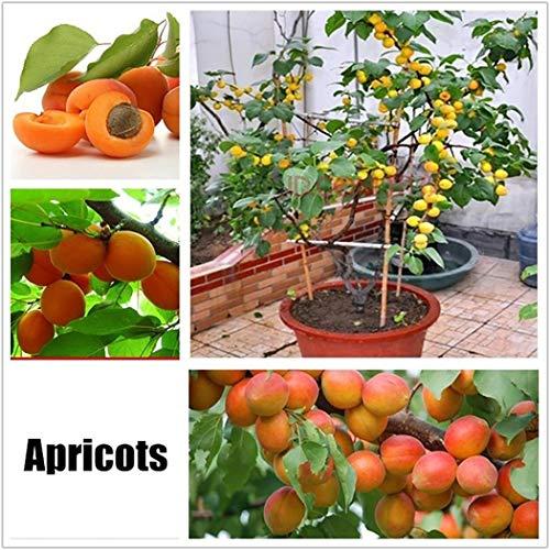 Cioler 10 Stücke Obstsamen Aprikosen Samen Mini Bonsai Hausgarten Obst Bäume Outdoor Obst Samen für Garten Pflanzen