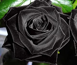 Exotic Plants Rosa Negro - 10 Semillas
