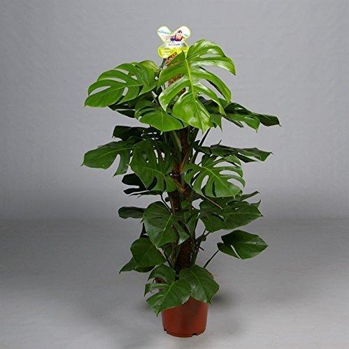 Monstera Pertusum am Moosstab,Köstliche Fensterblatt,120cm +/- , Zimmerpflanze