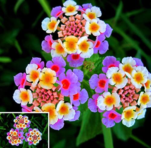 Tomasa Samenhaus- 50pcs Lantana Zierblumen, seltene Blumensamen winterhart mehrjährig Bonsai bunte Blumen Saatgut für Barkon, Garten