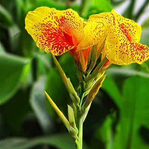 10 pcs nain Bonsai Canna Graines belles graines Fleur Feuillage Magnifique vivace Plante en pot pour jardin 6