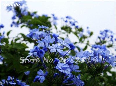 Belle Bonsai Blanc Saxifraga « Neige de printemps » Graines de fleurs vivaces De jardin les plus populaires Nature Plantes à effet de serre 120 Pcs 8
