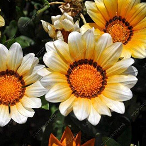 100pcs Chrysanthemum Gazania Rigens Samen Blumen Samen Zier Bonsai Samen vergossen Garten Balkon Pflanzen Schwarz