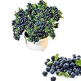 QHYDZ Garden-50/100pcs Semillas Arándanos Azul,...