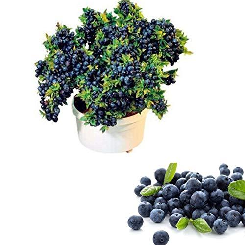 Heidelbeeren Pflanze Blaubeere Samen, Trauben Heidelbeere Vaccinium corymbosum myrtillus Saatgut, Winterhart Beerenstrauch Obst Fruchtsamen für Töpfe Garten Terrasse Balkon oder Kübel