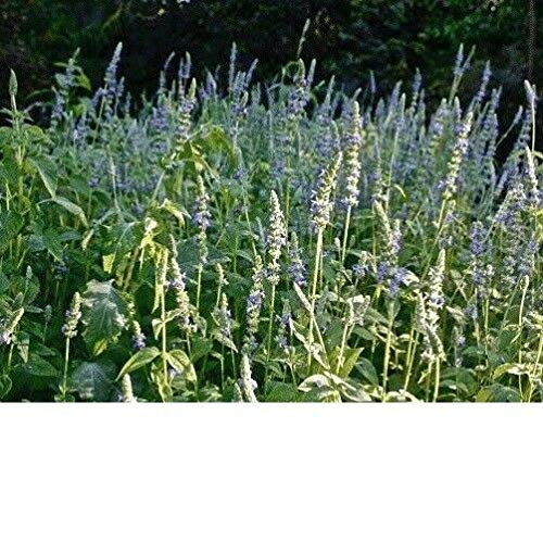 GETSO Samen-Paket Nicht Pflanzen: 5.000 + Schwarz Chia Blume/Korn: Chia, Schwarz Frische Non GMO Hand verpackt Seeds