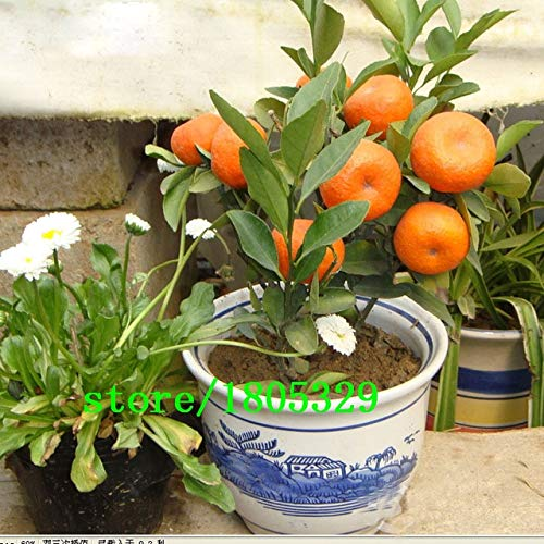 AGROBITS GGG Balcon Patio Potted arbres fruitiers Graines Plantée Kumquat Graines orange Tangerine Citrus Seeds 50 PCS: Rouge