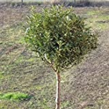 Steppenkirsche Globosa Prunus fruticosa Globosa...