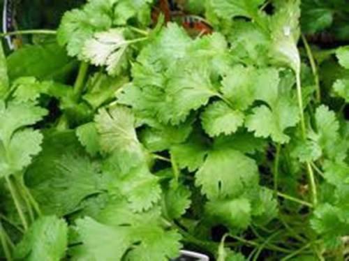 GRAINE DE CORIANDRE, LENT BOLT, HEIRLOOM, BIO 500 graines, NON OGM, GREAT HERBES/SPICE