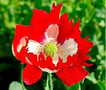 Foto di Fiore - Papavero - Papavero - Victoria Cross - 4000 Seme