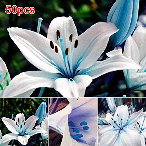 Fishyu 50Pcs / Bag Blue Rare Lily Bulbos Seeds Planting Lilium Perfume Flower Garden Página de Inicio Bonsai Decoración