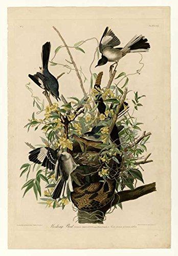 The Museum Outlet Audubon – Oiseau Moqueur – Assiette 21 – Impression sur Toile Acheter en Ligne (101,6 x 127 cm)