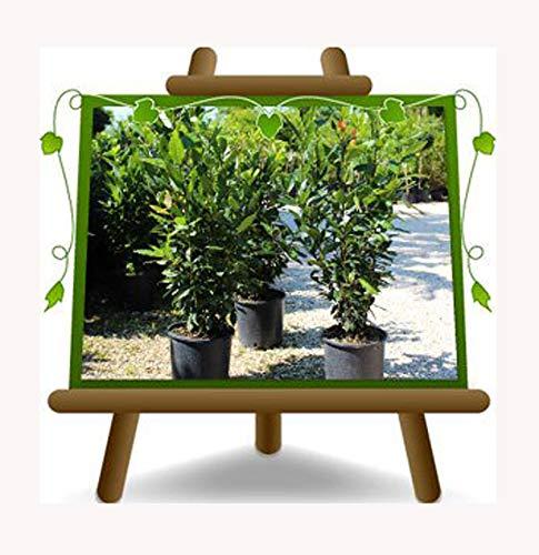 Lauro Nobilis – Alloro - Pianta da siepe - su vaso da 18 - altezza 110 cm