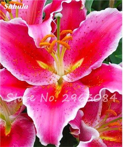 Livraison gratuite 100 pcs Lily Graines de fleurs Parfums Lily Graines Indoor Bonsai Graines exotiques vivace Plante en pot pour jardin 13