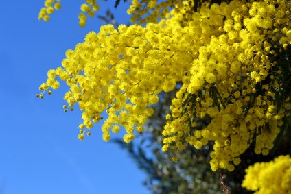 Silberakazie Falsche Mimose Acacia Dealbata 10 Samen Bonsai geeignet