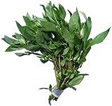 *aquariumpflanzen.net Starkbund Hygrophila polysperma, Indischer Wasserfreund