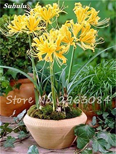 Big Sale! 100 Pcs Red Lycoris Graines Plante en pot Lycoris Radiata Graines de fleurs Plantation vivace intérieur Fleurs Bonsai Graine de plantes 4