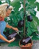 Aimado Seeds Garden-200 graines Aubergine Bonica F1 légumes organic graines Peu énergétique et riche en fibres