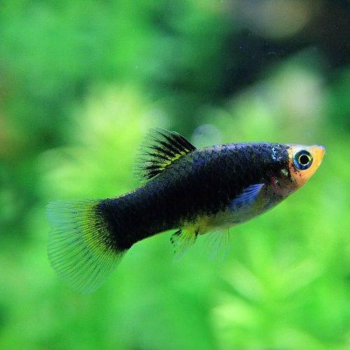 (熱帯魚)ヘルメットプラティ(約3-4cm)<6匹>[生体]