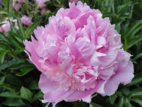 Sumerlin Lavender Peony Wall Decal Poster 45'x60'